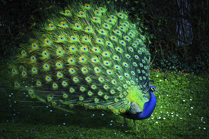 tortoise lioness or peacock the role of the clil teacher