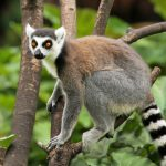 Over 28,000 endangered Lemurs are illegally kept as pets in Madagascar…