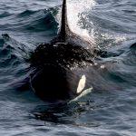 North Atlantic Killer Whales; past, present and future