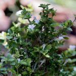 Battling Chinese Privet?  You can get great control with significantly less herbicide than you think