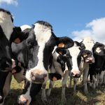 Finding fresh ways of tackling Negative Energy Balance in dairy cattle