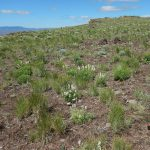 Scientist offer important guidance for treating invasive plants after a wildfire
