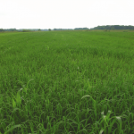 Research Confirms New Reports of Glyphosate-Resistant Junglerice