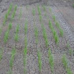Rice Growers Beware: Study finds 3 of 4 residual herbicides reduce crop performance