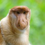 Riparian forest protection is crucial to the long-term viability of the endangered proboscis monkey
