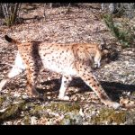 Identifying conservation priorities for the Critically Endangered Balkan Lynx