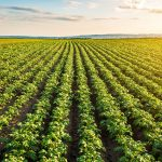 Caution required! Researchers document effect of dicamba and glyphosate on potato crops