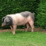 Salivary biomarkers of sexual development for hormone-free pig reproduction