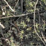 Mix Things Up to Control Dicamba-Resistant Kochia