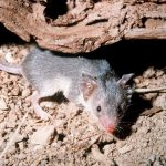 Biodiversity conservation in Madagascar: the plight of the tenrecs