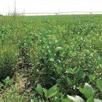 No Effective Post-Emergent Herbicides for Waterhemp?