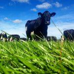 Can genetics reduce dairy farming's nitrogen footprint?
