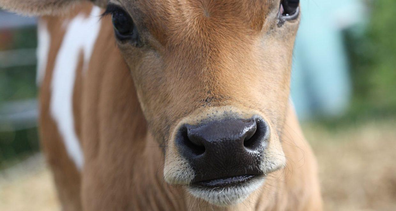 Colostrum provision to dairy calves « Life Sciences ...