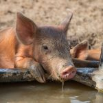 Linking pig and human gut health
