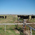Reducing stress of weaning can improve weight gain of beef calves