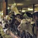 Goats: much more than a poor lab's cow!