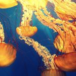 Watch: How do Jellyfish Sting?