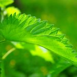 Watch: How do Stinging Nettles Inject Poison?