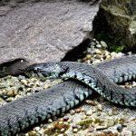 Watch: How Do Snakes Catch Their Prey Underwater?