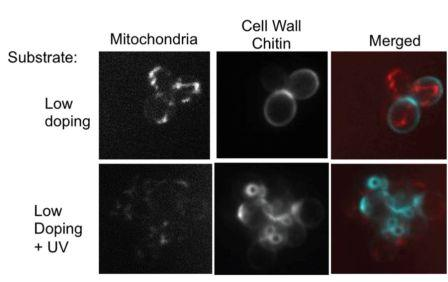 Response of Saccharomyces cerevisiae before and after increase in surface charges by UV treatment, showing decreased mitochondrial activity and increased chitin expression by the cells. Credit: Nanoscale.