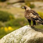 Golden Eagle (Aquila chrysaetos) perched on rock