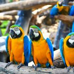 colorful macaws talking